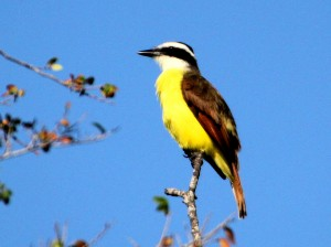 Great Kiskadee in treetop in morning light - Bentsen Rio Grande SP - near McAllen TX - 2012-12-06