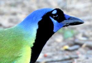 Green Jay - Bentsen Rio Grande SP - near McAllen TX - 2012-12-06