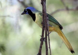 Green Jay in tree looking away - Bentsen Rio Grande SP - near McAllen TX - 2012-12-06