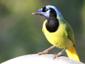 Green Jay on arch - Bentsen Rio Grande SP - near McAllen TX - 2012-12-06