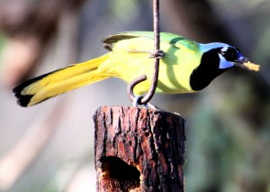 Green Jay on wooden feeder - Bentsen Rio Grande SP - near McAllen TX - 2012-12-06