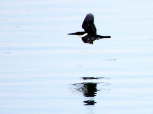 Green Kingfisher in flight - Anzalduas County Park - near McAllen TX - 2012-12-06