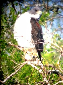 White-tailed Hawk adult - Hunke Ranch near Raymondville, TX - 2012-12-08