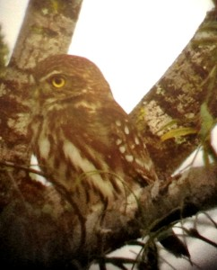 Ferruginous Pygmy-owl - Hunke Ranch  - Raymondville, TX - 2012-12-08  Photo by Greg Miller