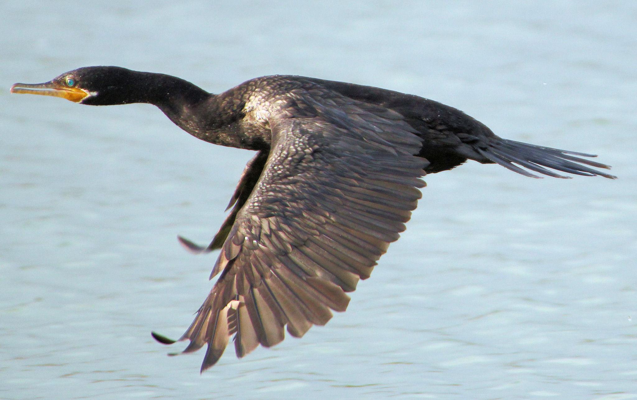 Calendar Notebook 2015 : Neotropic cormorant in flight port aransas tx