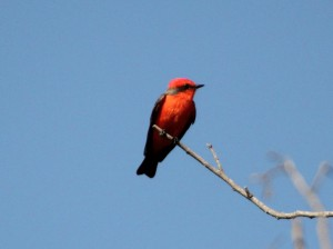 Vermillion Flycatcher on treetop in sharp lighting - Anzalduas County Park - near McAllen TX - 2012-12-06