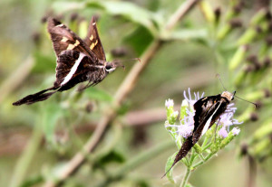 White-striped Longtail - San Benito TX - 2012-12-09