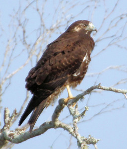 White-tailed Hawk 1st yr - Hunke Ranch - Raymondville TX - 2012-12-08
