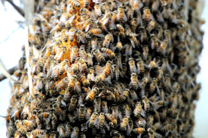 bee swarm - San Benito TX - 2012-12-09