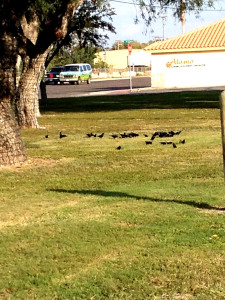Bronzed Cowbirds & Great-tailed Grackles in common area - Alamo, TX - December 2012