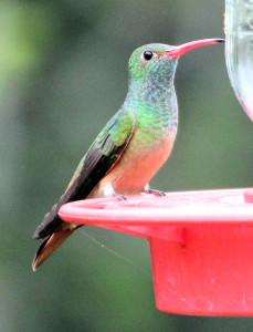 Buff-bellied Hummingbird - Estero Llano Grande - Weslaco TX - 2012-12-13