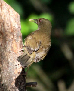 Clay-colored Thrush at feeder (back shot) - Quinta Mazatlan - McAllen TX - 2012-12-12
