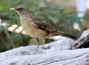 Clay-colored Thrush on log - Quinta Mazatlan - McAllen TX - 2012-12-12