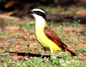 Great Kiskadee on ground - Quinta Mazatlan - McAllen TX - 2012-12-12