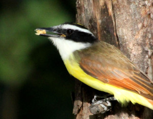Great Kiskadee sunlight & shade mimics fill flash - Quinta Mazatlan - McAllen TX - 2012-12-12