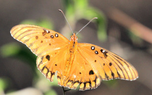 Gulf Fritilary - Santa Ana NWR - south of Alamo TX - 2012-12-12