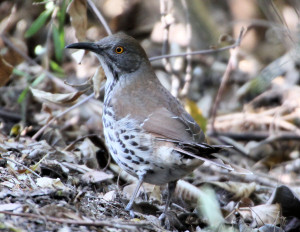 Long-billed Thrasher - Santa Ana NWR - south of Alamo TX - 2012-12-12