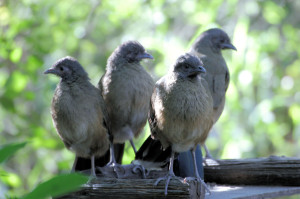 Plain Chachalaca group photo - Santa Ana NWR - south of Alamo TX - 2012-12-12