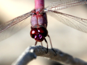 Roseate Skimmer close up - Santa Ana NWR - south of Alamo TX - 2012-12-12