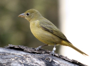 Summer Tanager on log - Quinta Mazatlan - McAllen TX - 2012-12-12