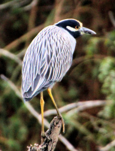 Yellow-crowned Night-Heron - Estero Llano Grande - Weslaco TX - 2012-12-13