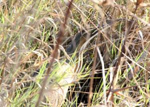 American Bittern in classic camo - Viera Wetlands - Viera FL - 2013-01-29