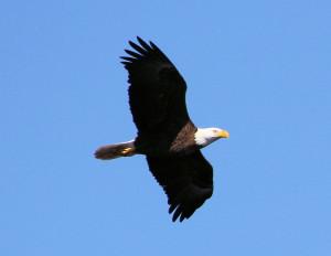 Bald Eagle adult in flight - Three Lakes WMA - near St Cloud FL - 2013-01-27