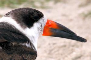 Black Skimmer head shot - Merrit Island NWR causeway - near Titusville FL - 2013-01-22