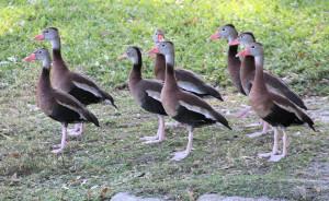 Black-bellied Whistling-Ducks - residential lake - Titusville FL - 2013-01-27