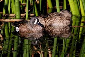 Blue-winged Teal pair - Viera Wetlands - Viera FL - 2013-01-23