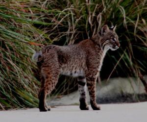 Bobcat standing at edge of parking lot - Green Cay - near Boynton Beach FL - 2013-01-30