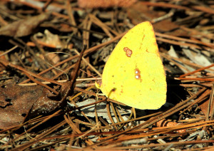 Cloudless Sulphur - Lake Woodruff NWR - near DeLeon Springs FL - 2013-01-25