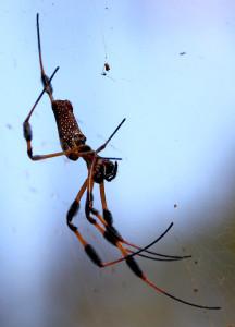Golden Silk Orbweaver - Lake Woodruff NWR - near DeLeon Springs FL - 2013-01-26