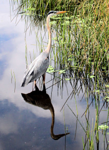 Great Blue Heron with reflection - Green Cay - near Boynton Beach FL - 2013-01-21