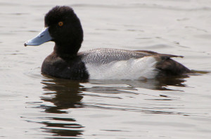 Lesser Scaup adult male - Cape Canaveral National Seashore - near Titusville FL - 2013-01-22