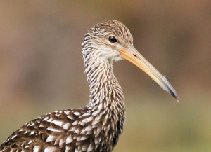 Limpkin head shot - Green Cay - near Boynton Beach FL - 2013-01-21