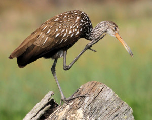 Limpkin scratching its face - Green Cay - near Boynton Beach FL - 2013-01-21
