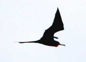 Magnificent Frigatebird adult male in flight - Virginia Key FL - 2013-01-21