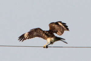 Red-shouldered Hawk 1st yr Florida race showing white wing crescents - Joe Overstreet Rd - near St Cloud FL - 2013-01-27