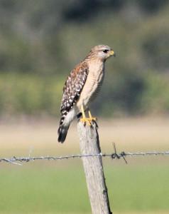 Red-shouldered Hawk adult pale Florida race - Joe Overstreet Rd - near St Cloud FL - 2013-01-27