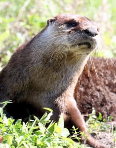 River Otter - Viera Wetlands - Viera FL - 2013-01-23