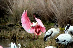 Roseate Spoonbill landing - Merritt Island NWR - near Titusville FL - 2013-01-29