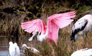 Roseate Spoonbill wings raised - Merritt Island NWR - near Titusville FL - 2013-01-29