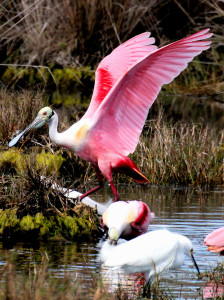 Roseate Spoonbill with raised wings showing orange tail - Merritt Island NWR - near Titusville FL - 2013-01-29