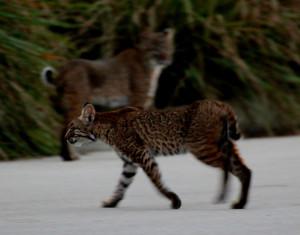 Second bobcat appears - Green Cay - near Boynton Beach FL - 2013-01-30