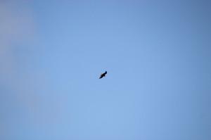 Short-tailed Hawk adult dark morph flying high - Virginia Key - near Key Biscayne FL - 2013-01-30