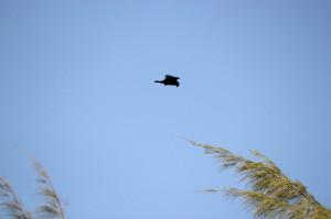 Short-tailed Hawk adult dark morph side profile flight shot with head down hunting treetops - Virginia Key - near Key Biscayne FL - 2013-01-30