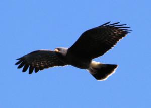 Snail Kite - Three Lakes WMA - near St Cloud FL - 2013-01-27