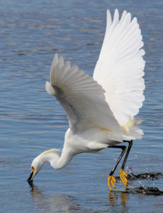 Snow Egret strike into water from the air - Merritt Island NWR - near Titusville FL - 2013-01-29