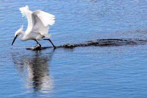Snowy Egret aggressively hunting - Merritt Island NWR - near Titusville FL - 2013-01-29